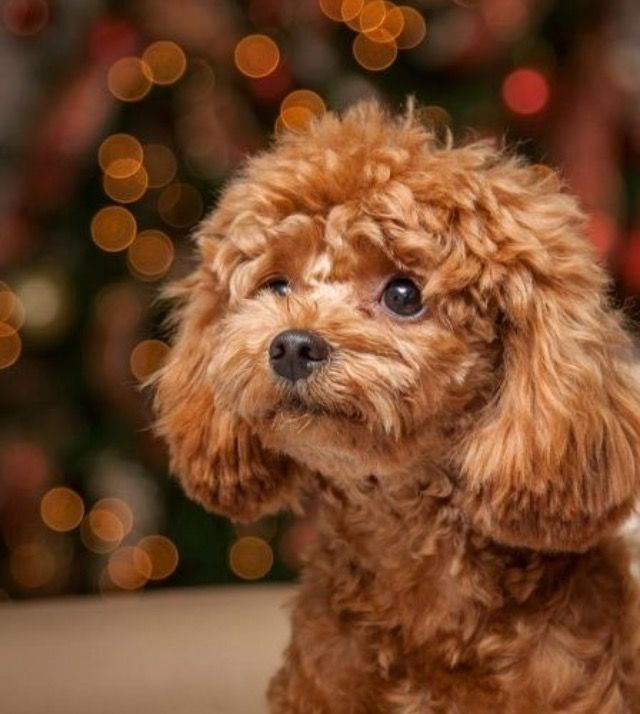 95 Best Images About My Toy Poodle Loves On Pinterest
