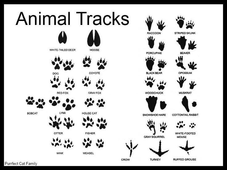 Animal tracks, Track and Animals on Pinterest