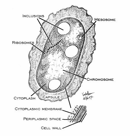 25+ Best Ideas about Bacterial Cell Structure on Pinterest