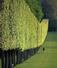 Boundary Trees for Landscaping  Tall Boundary Trees add ...