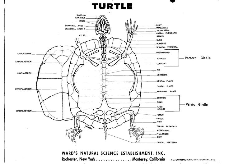 turtle shell anatomy diagram leviton rj45 jack wiring 215 best anatomy. reptile images on pinterest