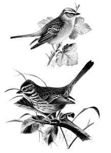 17 Best ideas about Vintage Bird Illustration on Pinterest