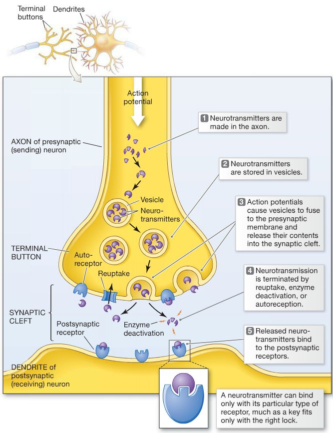 human brain diagram label inferior presynaptic and postsynaptic cell - google search | anatomy physiology pinterest step by ...