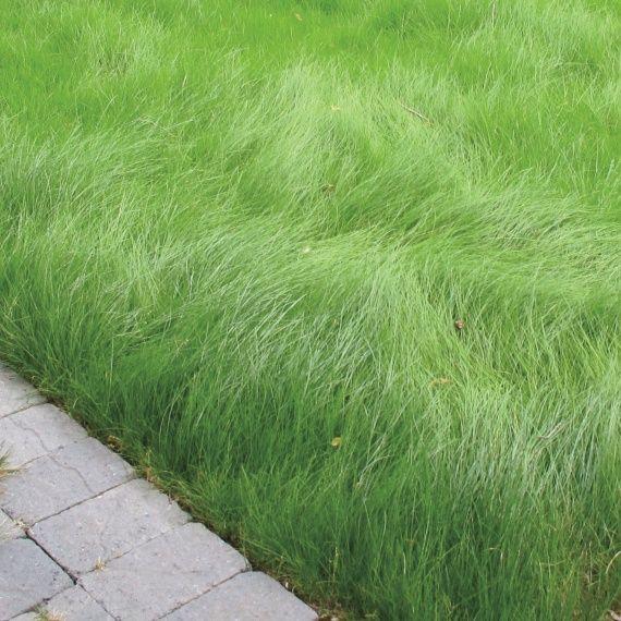 fuss lawn drought tolerant
