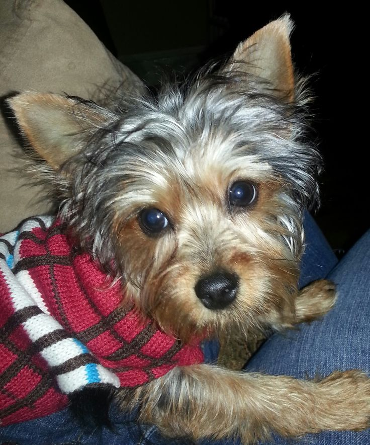 Cute Yorkshire Terrier Puppies Wallpaper 97 Best Images About Yorkshire Terrier Dogs On Pinterest
