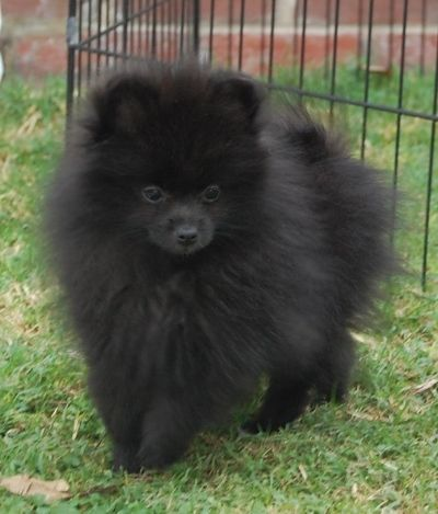 25 best ideas about Black Pomeranian on Pinterest Baby