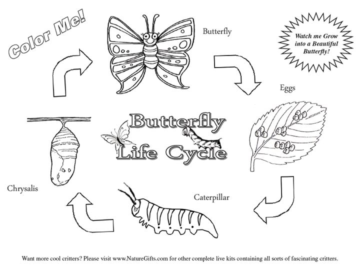 Week 1:: Backyard :: Butterfly life cycle coloring page