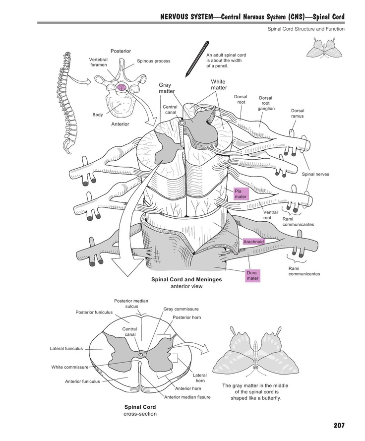 170 best images about Spinal Cord on Pinterest