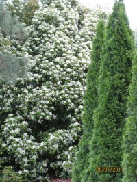 28 best images about Landscaping with Arborvitae on ...