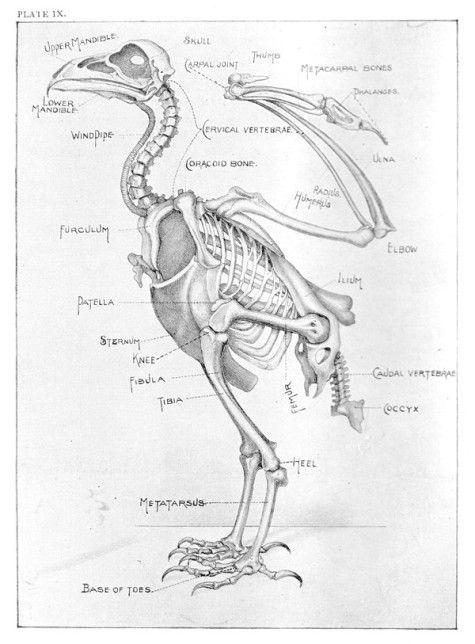golden eagle skeleton diagram dodge truck parts 1000+ images about la tite' fiche anatomique on pinterest