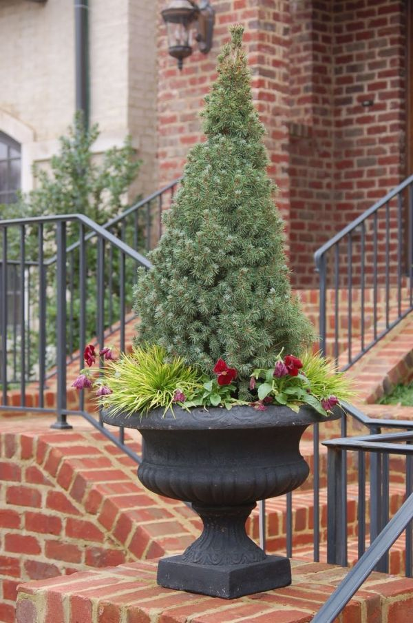 43 best images about dwarf evergreens for containers as a