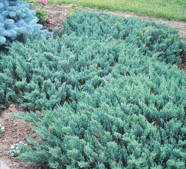 juniper 'blue chip' plants