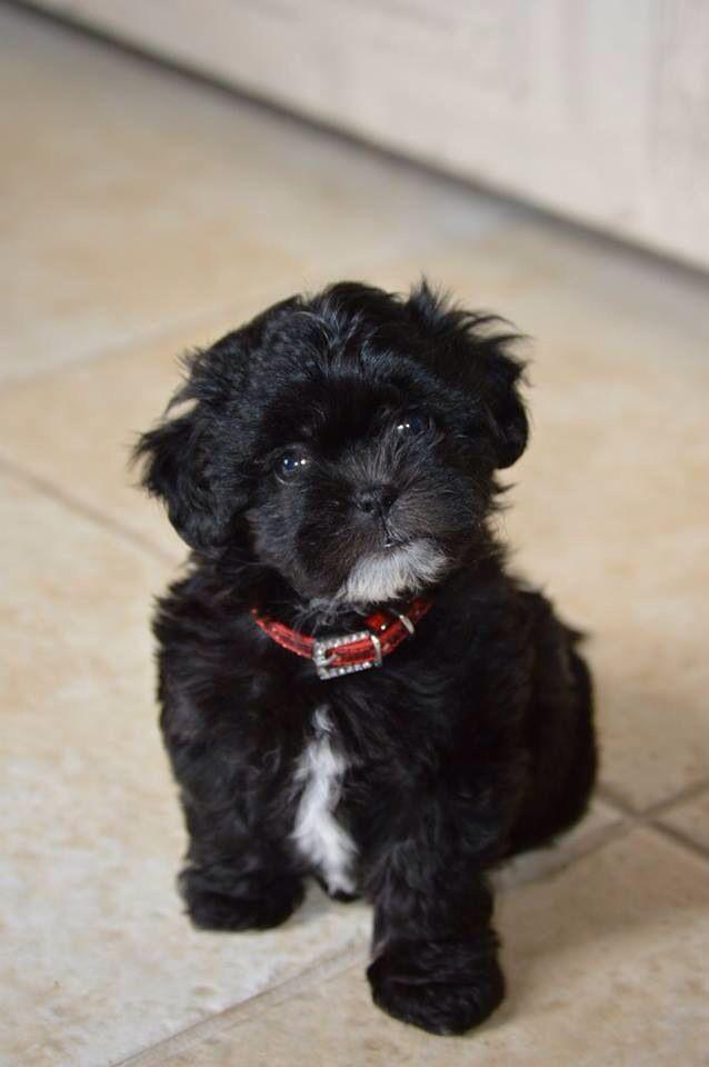 Charlie My Shih Poo Puppy Harlie The Shih Poo