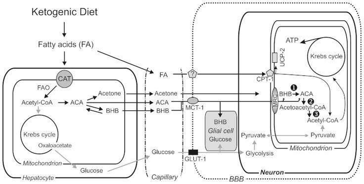 Figure 1. Metabolic pathways involved in ketogenic diet