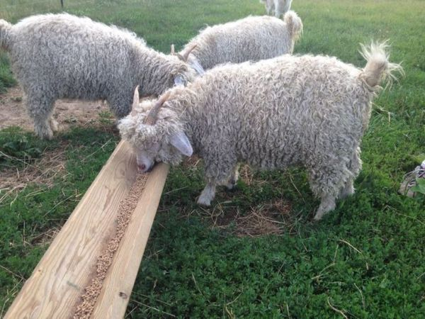 17 Best images about Pygora Angora Goats Love on