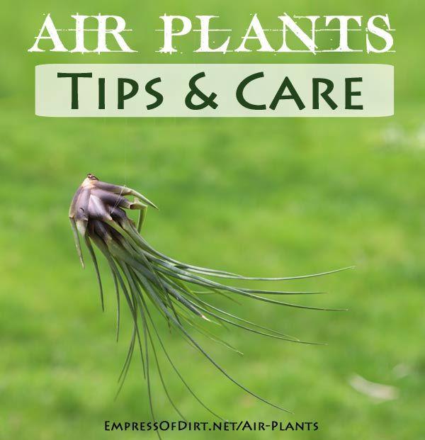 Air Plants: Magical, Mysterious Tillandsias – Empress of Dirt   empressofdirt.net…