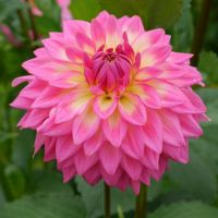 3921 best images about Dahlias on Pinterest