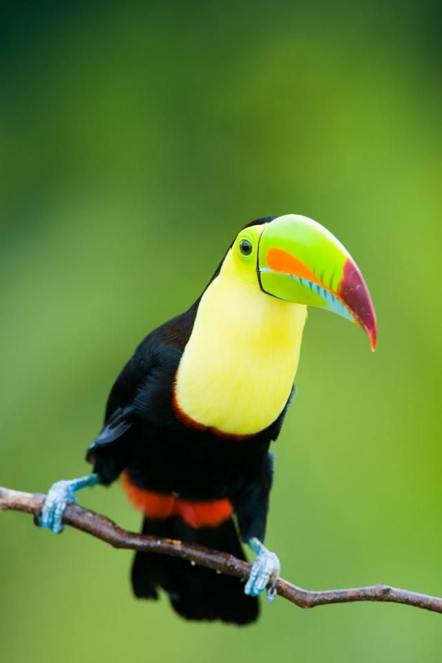 80 Best Images About Toucan Art On Pinterest  Central