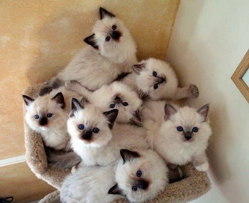 Image result for ragdoll cats