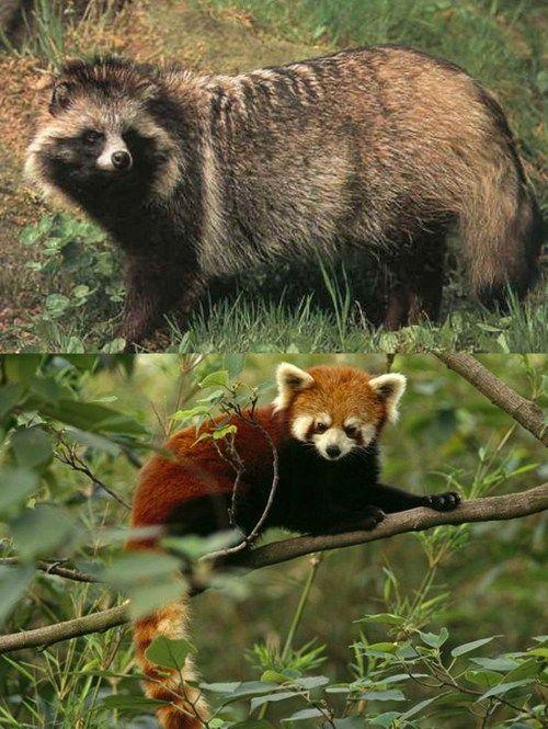 Cute Baby With Parents Wallpaper Tanuki Vs Red Panda Amazing Creatures Pinterest