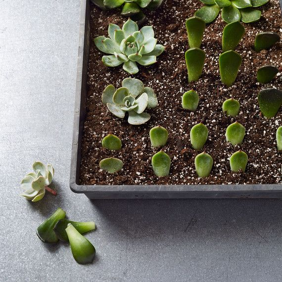 Best 20 Propagate Succulents Ideas On Pinterest