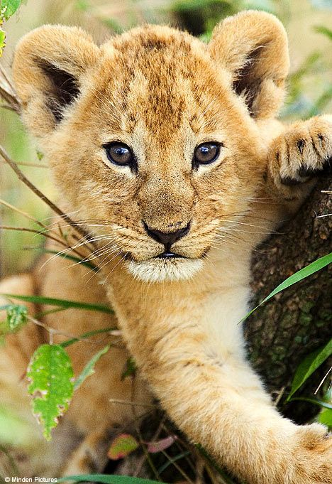 ideas about baby lions on pinterest lion cub and cubs