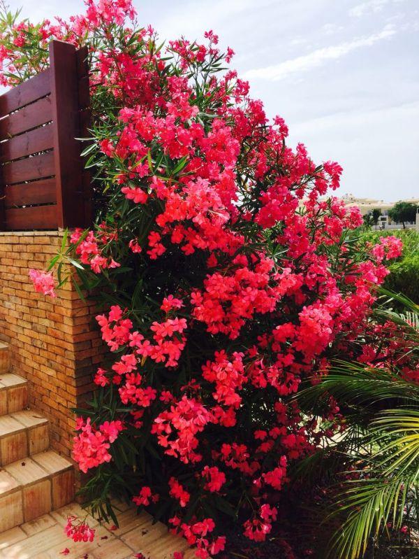 beautiful oleander bush algarve