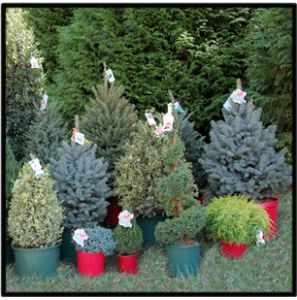 78 Best images about dwarf evergreens for containers as a