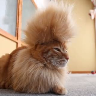 16 Best Images About Cat Hair Styles On Pinterest Animals And