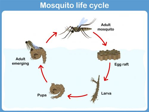 diagram of an ant life cycle worksheet 2001 ford f250 trailer plug wiring mosquito   other, biology and read more