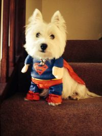 West Highland White Terrier - What Is A Westie Dog - Dogs ...
