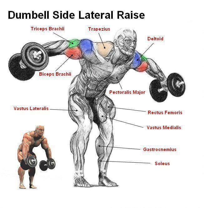 pin curl diagram brain sinus dumbbell side lateral raises. | shoulder exercises pinterest raises and workout