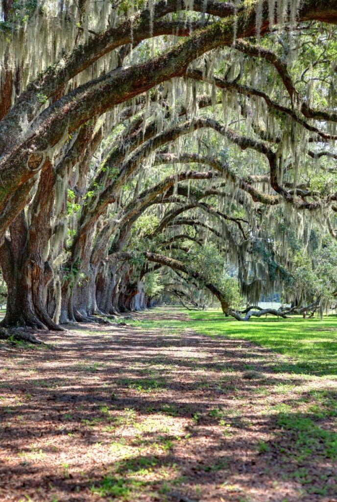 25 Best Ideas About Spanish Moss On Pinterest Trees