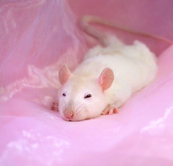Cute Eeveelution Wallpaper 24 Best Images About Rat Party On Pinterest