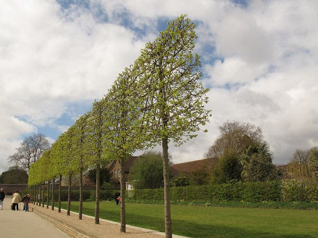 Pleached Trees Google Search Garden Pinterest
