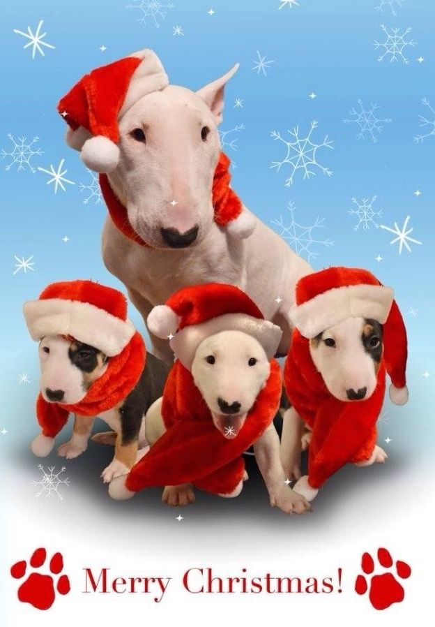 1000 Ideas About Bull Terriers On Pinterest Pit Bull
