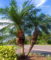 Pygmy Date Palm. Roebelenii Palm Tree. Tropical Landscape ...