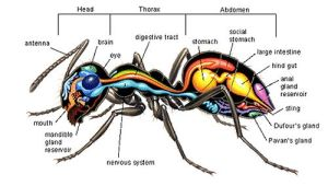 Anatomy of an ant | Spiders, Scorpions & Other Insects