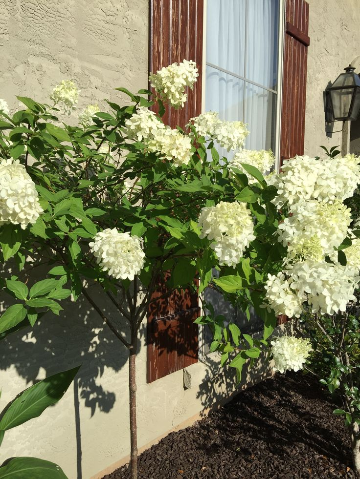 87 Best Images About Limelight Hydrangea Tree On Pinterest