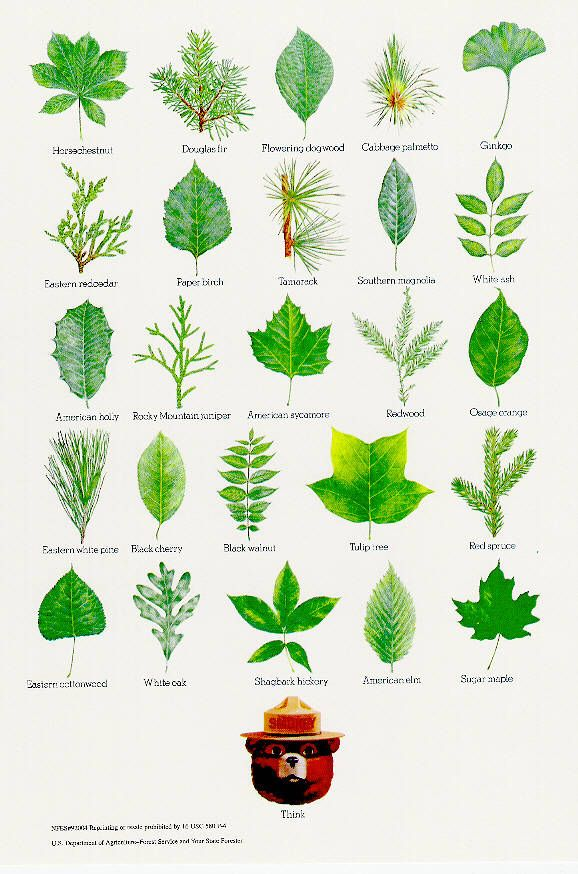 17 best ideas about Tree Identification on Pinterest