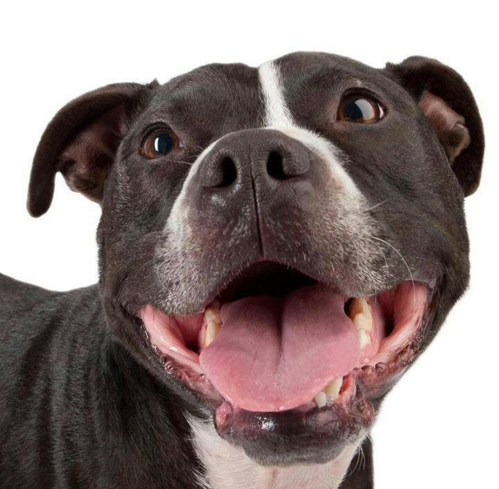 American Bullies Pitbulls And Girls Wallpaper 430 Best Images About Dogs Staffordshire Bull Terrier Pit