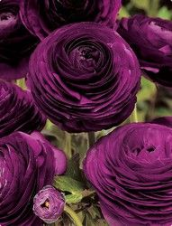 Deep Purple Ranunculus make for a great wedding flower with their wonderful color. They also take up more space, making your table