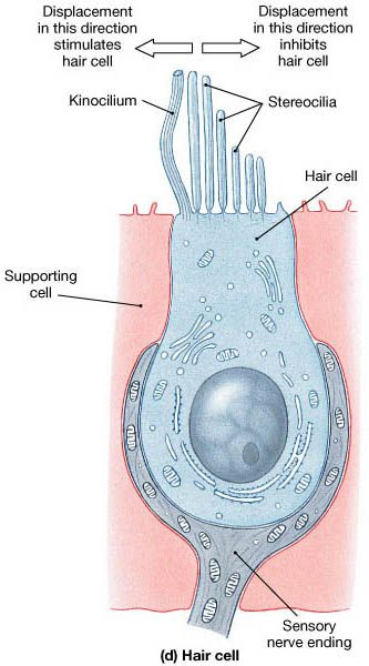the structure of human ear diagram 2000 honda civic horn wiring 10 best images about hair cells on pinterest | cell structure, biology and note
