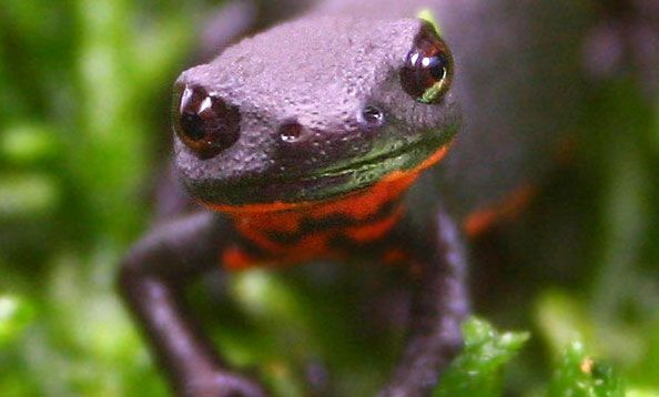 Cute Baby Gecos Wallpaper Chinese Fire Bellied Newt All Up In Yo Face Fauna