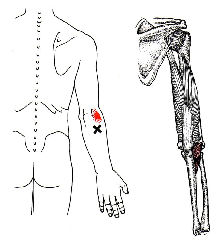 pectoralis diagram maj