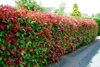 Photinia Red Robin screening and hedging plant ...