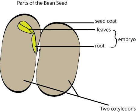 lima bean seed part diagram kohler wiring growing with science: let's learn about seeds | plant science pinterest what is a seed, ...
