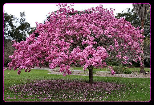 Tabebuia impetiginosa is the national tree of Paraguay