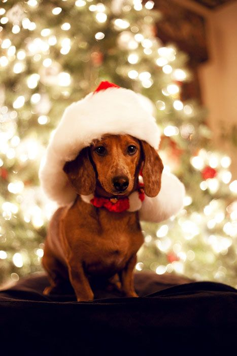 Dachshund Merry Happy Christmas Day Card Puppy Holiday