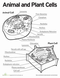 25+ best ideas about Animal Cell Project on Pinterest